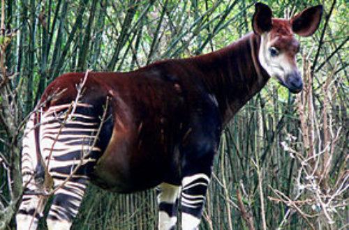 Article : RDC/Environnement: Les okapis renaissent